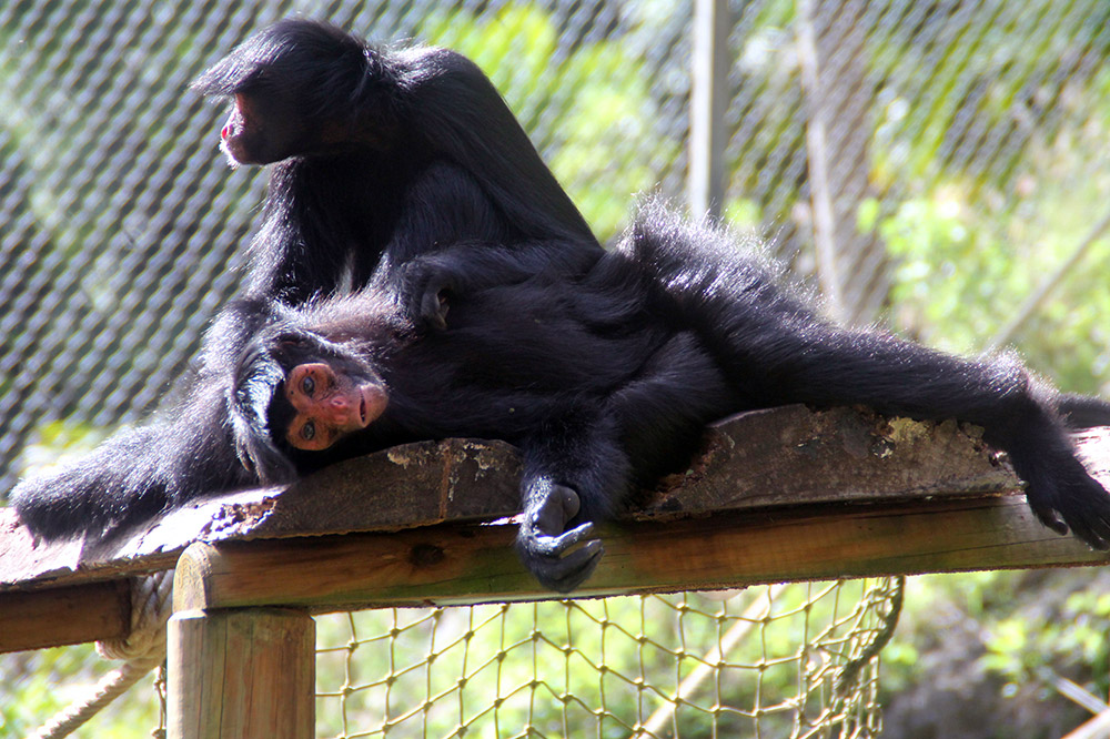 martinique zoo, monkeys